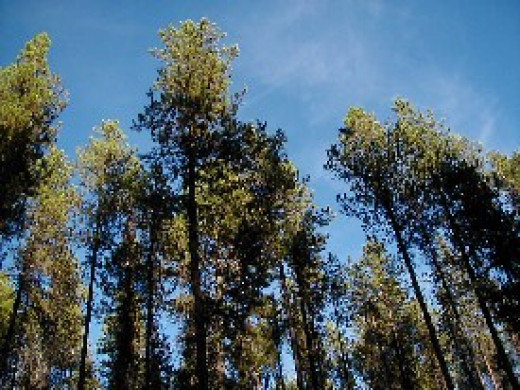 Lodgepole Pines (aka Shore Pines, Beach Pines, and Coast Pines), photo by the US Forest Service