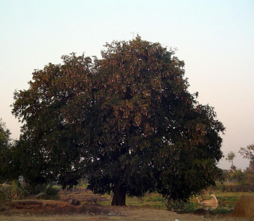 There are several trees considered as Kalpavrikshas all around India - the baobab, the banyan or in this case, the tamarind.