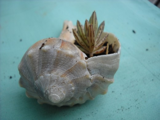 Succulent Growing in a Sea Shell
