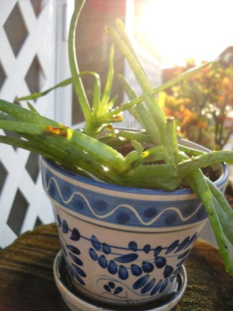 Aloe Vera, a succulent
