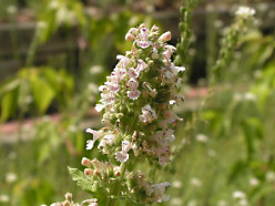 Catnip and Catmint Plants - Fascinating Herbs
