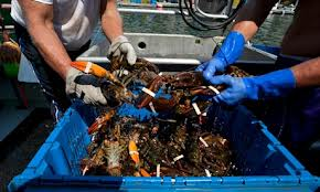 Maine lobsters freshly caught on the lobster boat.