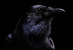 Insane Crow