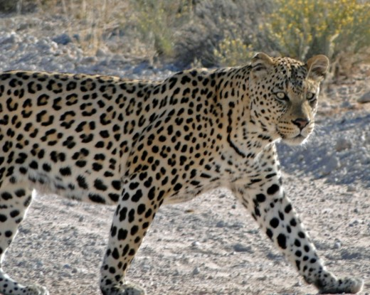 Leopard - the most elusive of the big five- this one in Kgalagadi