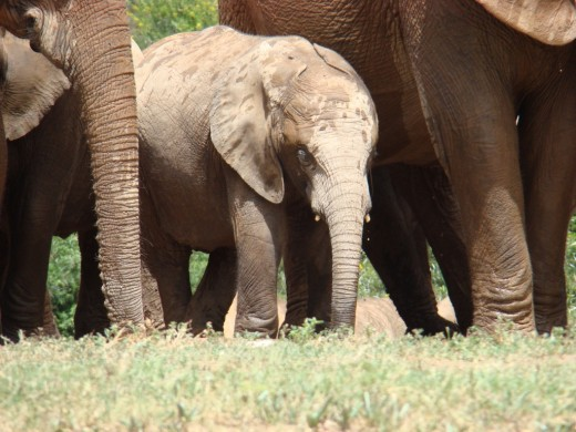 Young Elephant protected by herd-Addo