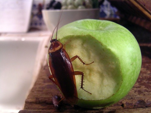 Roaches can grow to be large in size.