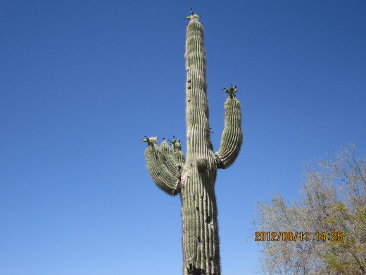 The Saguaro stands in spite of what God and Nature dish out. A lesson here, I think.