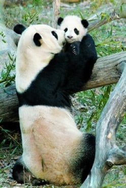Panda's Arrive in Toronto!