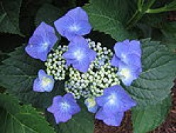 Growing And Preserving Hydrangeas