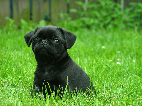 A black pug.