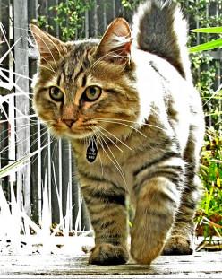 American Bobtail Cat Breed