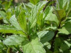 Spearmint All Over Relaxant