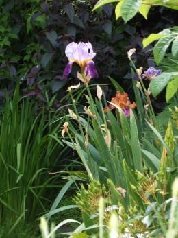 Bearded iris and Lysimachia.  Photograph by Helen Lush