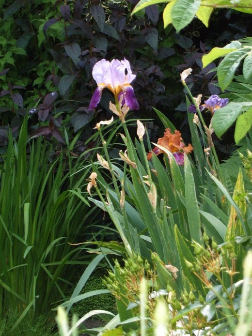 Bearded iris and Lysimachia.  Photograph by Helen Lush