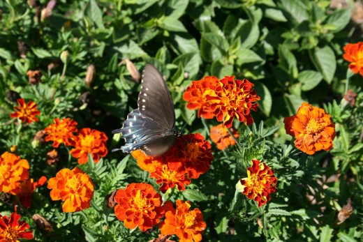 Marigolds act as natural tomato worm repellents.