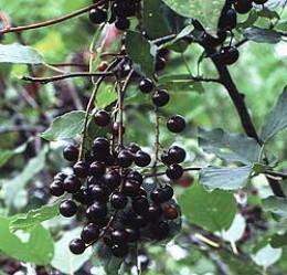 Scientific name:  Aronia melanocarpa.