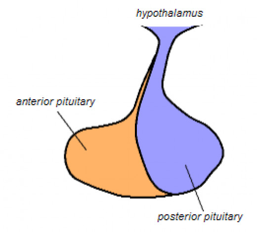 The pituitary gland where ADH is stored.