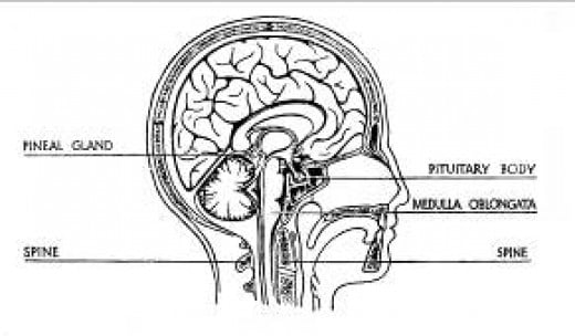 Position of the pituitary gland in the brain