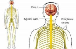 Peripheral nerves (yellow) convey physical sensations - often triggered off by stress