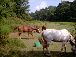 Pros and Cons of Slaughtering Horses in Oklahoma