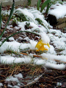 The Lonely Daffodil