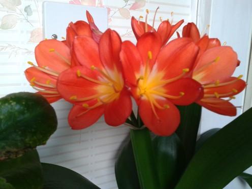 Kaffir Lily (Clivia Miniata)