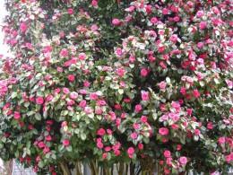 The Camilla tree of love