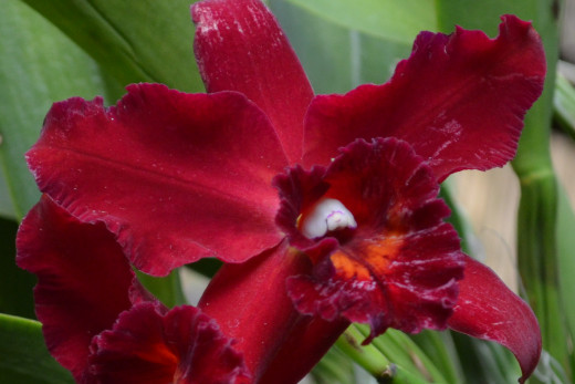 A lovely red, burgundy orchid.