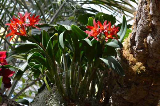 Red Orchid Plant.