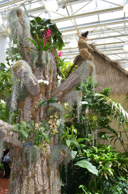 Madagascar orchid show display in St. Louis Missouri 2013.
