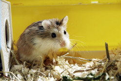 How to Remove Your Pet Hampster from a Sticky Trap