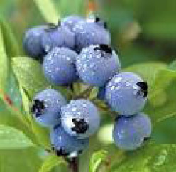 Blueberry a Super Food for Health and Beauty.