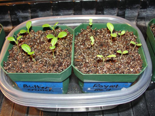 A simple water bath is a great way to water seedlings from the bottom.