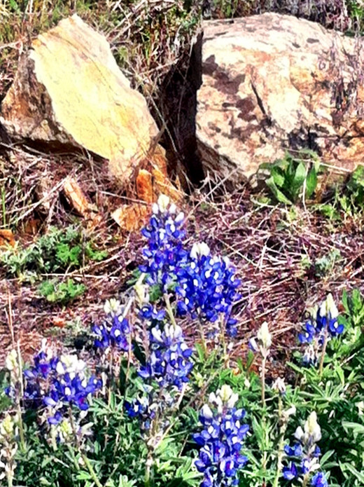 Rocks and Bluebonnets