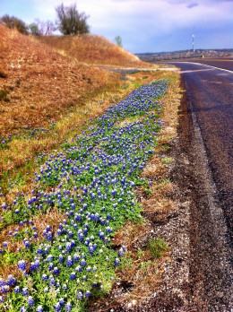 Roadside Bluebonnet Treasure
