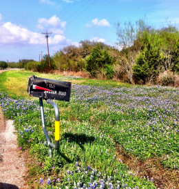 Pastoral Bluebonnet Scene With Mallbox