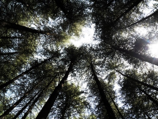 Looking up the tall trees in the thick forests - Tree Canopy