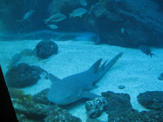 Aquarium Fish include sharks.