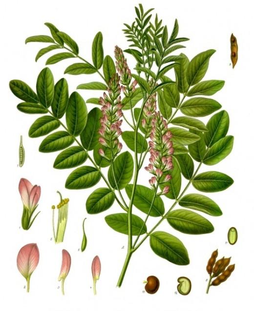 Glycyrrhiza glabra plant