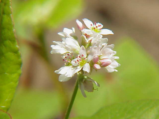 Common Buckwheat Flower
