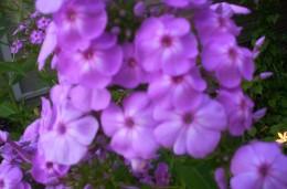 David Purple phlox