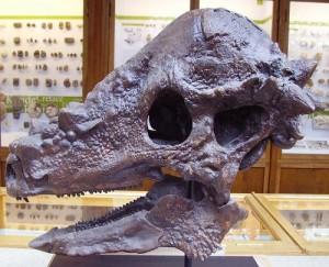 Pachycephalosaurus skull at the Oxford Museum of Natural History.