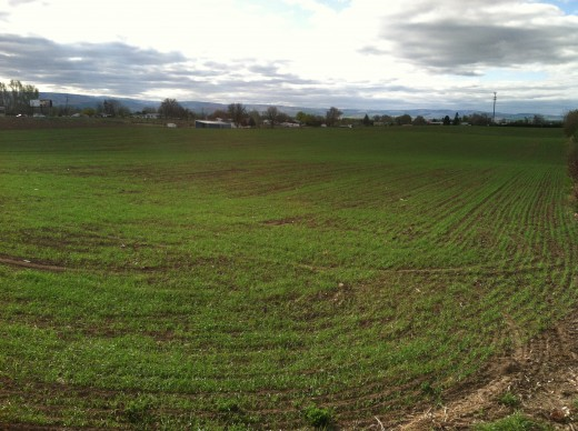 Early Shoots of Spring Wheat in Oregon
