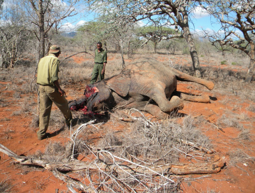 Wildlife Works Rangers Look at an Elephant That was Killed In the Rukinga Wildlife Sanctuary