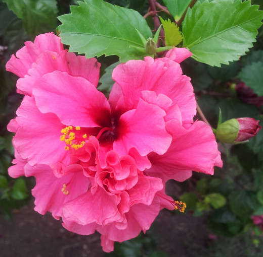 Hibiscus Flower.  Be grateful in little things and you will be blessed with more.