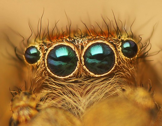 Eyes of Jumping spider - Marpissa radiata