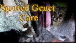 Exotic Pet Care | The Spotted Genet