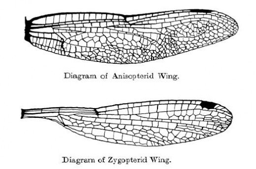 Note that the dragonfly wing is broader all along its width than is the damselfly wing.
