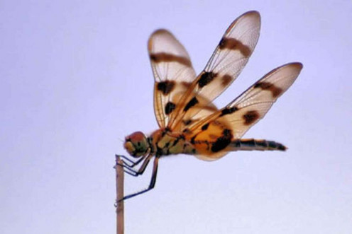 Halloween Pennant, often found in Florida.