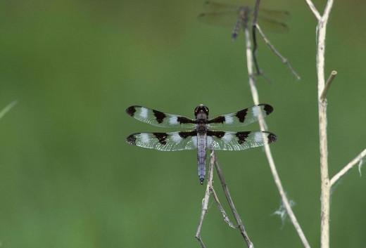 Twelve Spot Skimmer